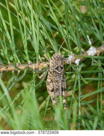 A Grey Grasshopper Sits On A Green Pine Branch, Close-up, In A Natural Environment