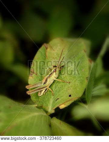 A Small Green Grasshopper Sits On A Green Leaf, Close-up