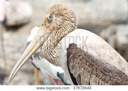 braune Pelikan, Pelecanus occidentalis