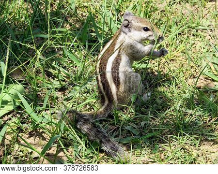 Little Chipmunk Sits Among The Tall Grass Under The Bright Rays Of The Sun And Eats Grass Stalk