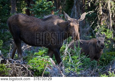 Colorado Moose Living In The Wild. Cow Moose And Calf Browsing In A Forest