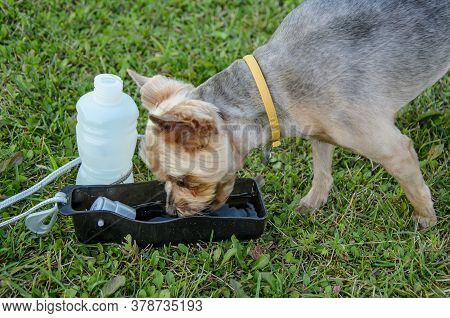 Dog Drinks Water On A Walk From A Portable Drinking Bowl On Green Grass. Outdoor Pet Water Dispenser