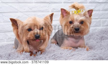 Two Cute Yorkshire Or Yorkie Terrier Dogs In A Basket. Transporting Two Sweet York Shire Terrier Dog