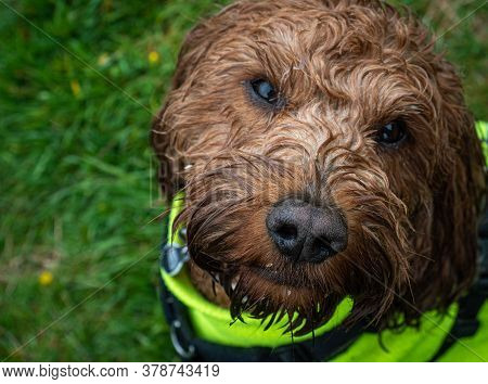 A Wet Cockapoo During His Walk