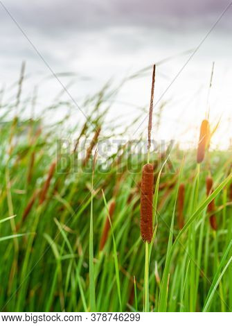 Brown Grass Flower With Green Leaves. Grass Flower Field With Morning Sunlight. Typha Angustifolia F