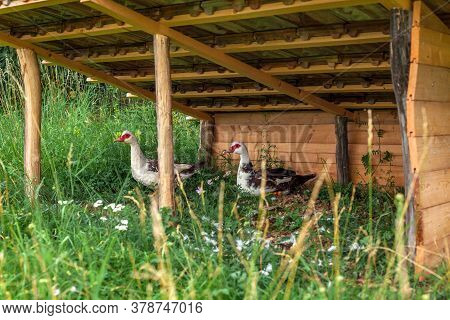 Geese In A Kennel On A Farm