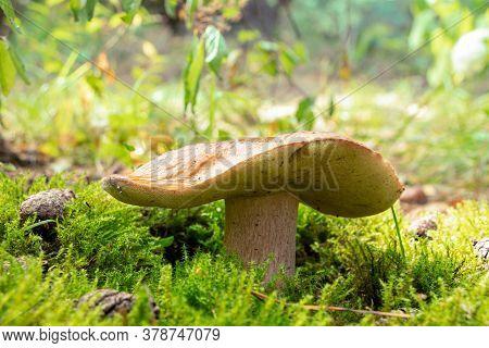 White Mushroom, Boletus In The Forest.boletus Edulis In Wild Nature. Leccinum Edule. Dictyopus Eduli