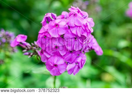 Beautiful Lilac Flower On A Green Background.