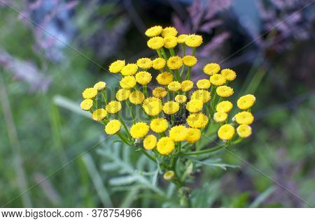 Tansy, Tanacetum Vulgare Also Known As Common Tansy, Bitter Buttons, Cow Bitter Or Golden Buttons In