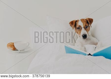 Clever Pedigree Jack Russel Terrier Dog Stays In Comfortable Bed And Reads Book Like Human, Wears Ro