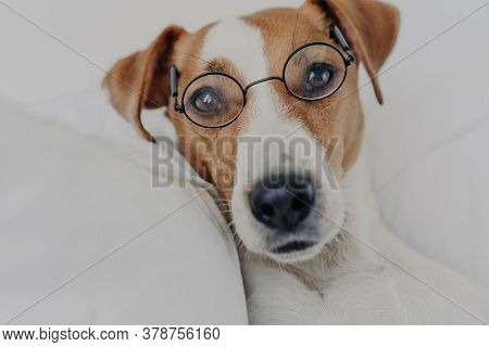 Close Up Shot Of Brown And White Dog Stays In Bed, Wears Transparent Round Glasses And Looks Directl