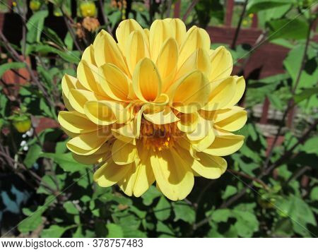 Yellow dahlia flower, growing in english garden.