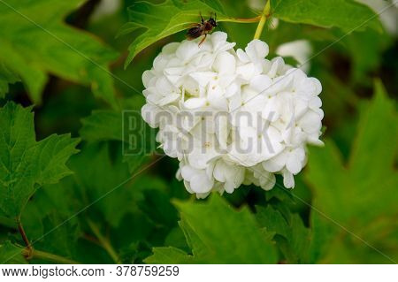 Fluffy Flower Of Viburnum Baldeneisee With A Bee Collecting Nectar