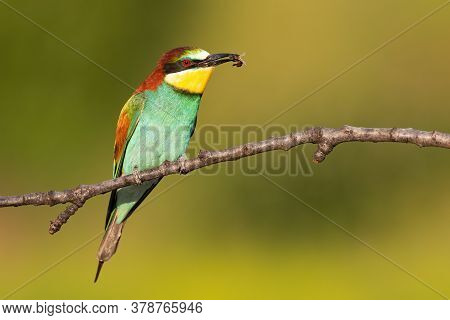 Multicoloured European Bee-eater Sitting On Branch In Summer.