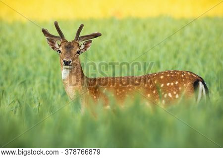 Fallow Deer Stag With Growing Antlers Standing On Field In Summer Nature.