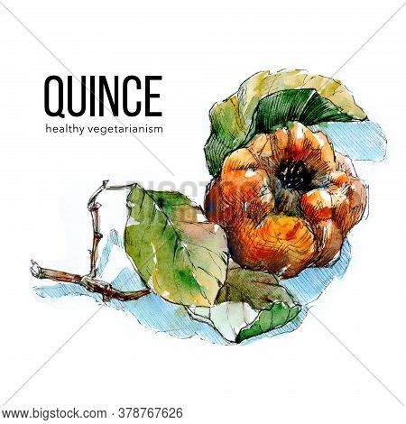 Sprig Of Ripe Quince On White Background, . Watercolor Illustration For Label, Sticker, Package Desi