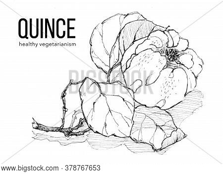 Sprig Of Ripe Quince On White Background. Ink Sketch. Illustration For Label, Sticker, Package Desig