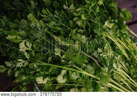 A Bunch Of Fresh Cilantro, Coriander Close-up. Authentic Still Life. Top View