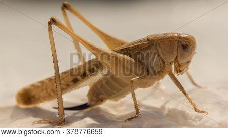 Brown Grasshopper Sitting On A White Stone