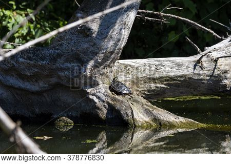Turtle Basking In The Sun.natural Scene From Wisconsin.
