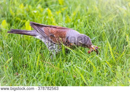 Fieldfare Collects Worms On A Green Lawn. Fieldfare, Turdus Pilaris. Bird With Beak Full Of Worms. C