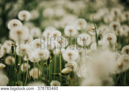 Beautiful Fluffy Dandelions In The Open Air On A Blurred Background, Flowering Dandelion.