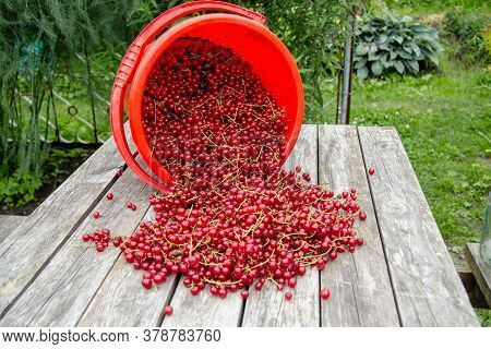 The Newly Assembled Red Currant Was A Little Scattered On The Wooden Table. Nearby Is An Inverted Re