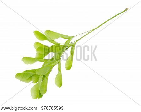 Branch Maple Wings Isolated On A White Background Without A Shadow. Item For Packaging, Design, Mock