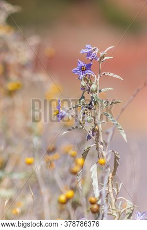 Silver Leaf Nightshade In The Desert With Low Depth Of Field