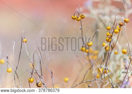Silver Leaf Nightshade In The Desert And Low Depth Of Field