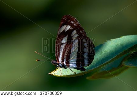 common glider butterfly resting on green leaf. Black and white butterfly in natural habitat (neptis sappho)