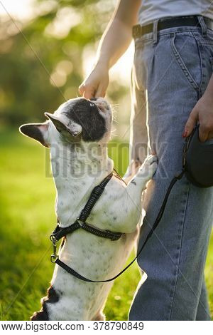 Side View Of Unrecognizable Woman Training French Bulldog On Leash. Close Up Of Pet Smelling Treats