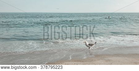 Bird Seagulls Sitting By The Beach. Wild Seagull With Natural Soft Blue Background. View Of The Sea,
