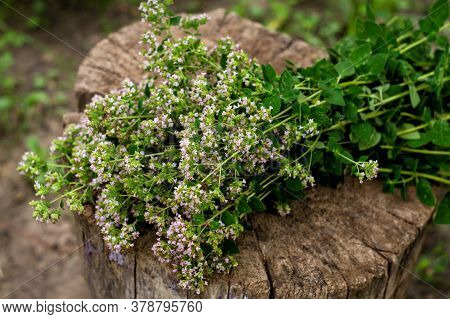 Bunch Of Flowering Oregano. Origanum Vulgare, Culinary Herb, Curative Plant