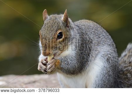Close Up Portrait Of A Grey Squirrel (sciurus Carolinensis) Eating A Nut