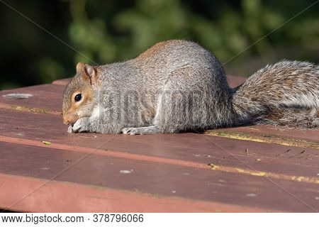 Portrait Of A Grey Squirrel (sciurus Carolinensis) Eating Nuts Off Of A Picnic Table.