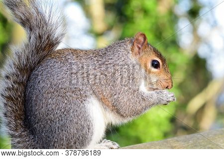 Side View Of A Greysquirrel (sciurus Carolinensis) Sitting On A Fence While Eating A Nut