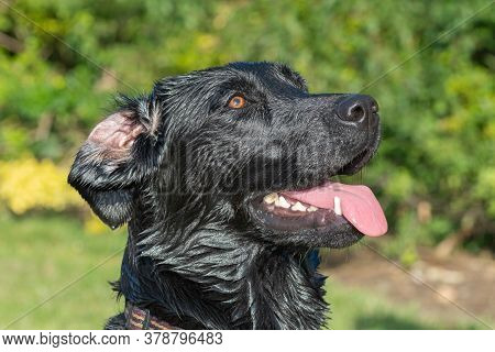 Head Shot Of A Wet Black Labrador With An Inside Out Ear