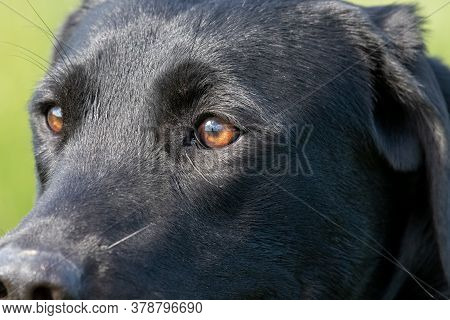 Close Up Head Shot Of A Cute Black Labrador