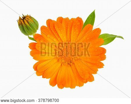 A Close Up Of The Flower Of Medicinal Herb Pot Marigold. Calendula Officinalis Isolated On White Bac