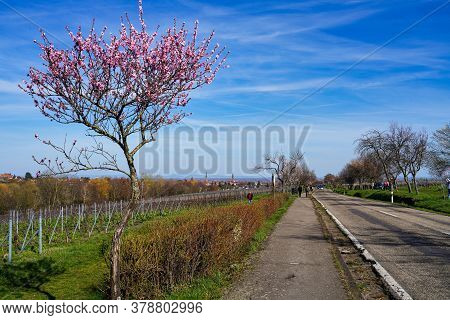 Rhodt Unter Rietburg, Germany - Mar 15, 2020: Almond Trees, Prunus Dulcis Blooming, Southern Wine St