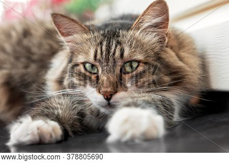 Fluffy Cat Lying On The Wall Of The House. Portrait Of A Beautiful Cat With Green Eyes Close-up, He