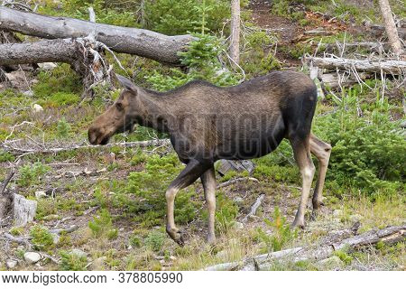 Colorado Moose Living In The Wild. Cow Moose