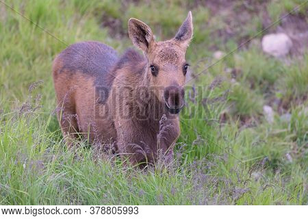 Moose Calf Standing In Grass. Colorado Moose Living In The Wild