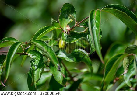 Botanical Collection Of Medicinal Plants And Herbs, Dogwood Or Cornus Officinalis Tree In Summer