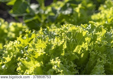 Natural Lighting Of The Frame. Green Lettuce Leaves In The Garden, Vegetable Garden. Eco Product Is