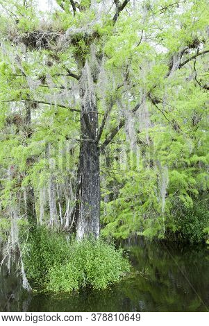 The Exotic Tree Surrounded By Water Inside Everglades National Park (florida).
