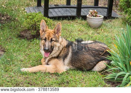 East-european Shepherd. Shepherd Portrait. A Cute East European Shepherd Dog.