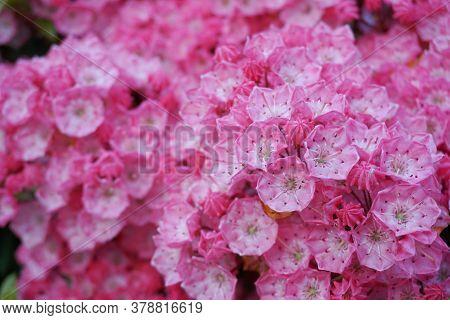 Kalmia Latifolia Flowers With Leaves Close Up. Also Known As Mountain Laurel, Calico-bush, Or Spoonw