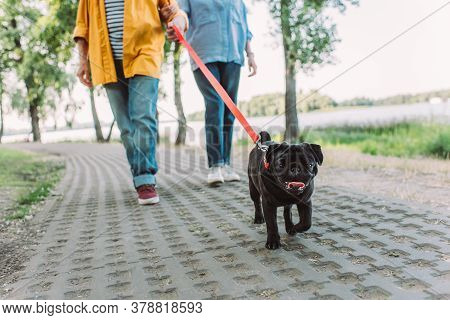 Selective Focus Of Pug Dog Walking Near Elderly Couple On Path In Park